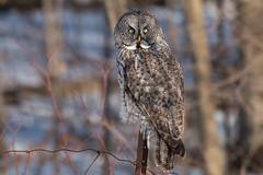 GGO Winter Invasion 2016-2017 (NicoleW0000) Tags: greatgrayowl owl phantomofthenorth strixnebulosa spruceowl beardedowl hibou birdofprey wild wildlife wildlifephotography owleyes eyecontact outdoors ontario woods