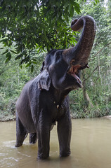 Seetha the Asian Elephant in the river