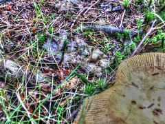 2017-09-21 15.24.51 (74prof) Tags: hdr mushrooms flowers fall facetime