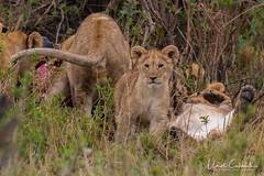 NKN_4794_tn (UmitCukurel) Tags: narokcounty kenya lion cub lioness nature sunset sunrise wildlife africa nikon d500 greatmigration wildebeest zebra giraffe crocodile hunt kill 18