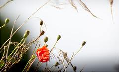 Die Eine und die Farbe Rot (Beppe Rijs) Tags: deutschland fjord germany landschaft natur schlei schleswigholstein landscape nature nah close red rot mohn poppy feld field rural ländlich pflanze plant blime flower makro macro liebe love grau grey