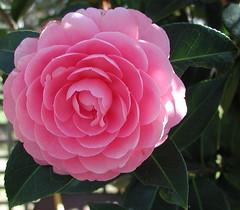 Camellia on the back fence (spelio) Tags: garden fp visit sept 2017 canberra backgarden backyard