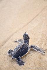 Turtle Hatchling (Gawen Breteche-Lo) Tags: borneo cheloniamydas cheloniidae greenturtle malaysia sarawak southeastasia talangsatangnationalpark juvenile marine reptile seaturtle