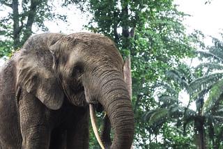 ELEFANTE DELLA FORESTA.   ----    FOREST ELEPHANT
