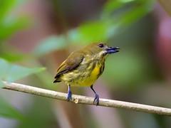Yellow-breasted Flowerpecker _ Mersing ☺ (mahi mahi 163) Tags: flowerpecker 600mm malaysia