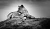 Moyo wa Simba (Beppe Rijs) Tags: africa afrika fels löwe löwin serengeti tansania tanzania lion lioness rock landschaft panorama clouds landscape light view nationalpark np park steppe wildlife animal bigcat tierwelt tiere grosskatze wildkatze bigfive raubtier raubkatze kopje chill ruhen entspannen wildcat reserve habit typical typisch rückzugsort reservat habitat lebensraum nature natur wildnis wild tier blackandwhite bw sw schwarzweiss schwarz weiss monochrome fineart photography wildlifeafrica ngc npc