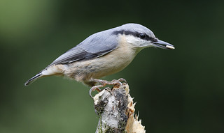NUTHATCH ....Powys....Look on large.
