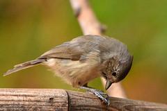 "Tufted_Titmouse_05 (DonBantumPhotography.com) Tags: wildlife nature animals birds tuftedtitmouse ""donbantumphotographycom"" ""donbantumcom"" ""nikon d7200"" ""afs nikkor 200500mm f56e ed vr"""