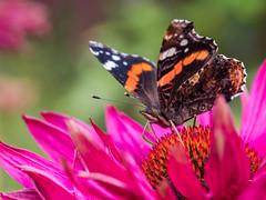 Red on Pink (Maria-H) Tags: newbyhall england unitedkingdom gb redadmiral vanessaatalanta echinacea butterfly flower garden yorkshire uk olympus omdem1markii 60mm macro