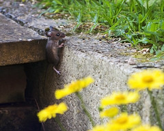 Free climbing mouse on the lookout (Christian Hacker) Tags: brown mouse canon50d 300mm zoom garden wildlife creature yellow flowers depthoffield dof concrete stairs outdoor climb climbing small little cute hiding seeking lookout grass lawn hand held