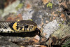 Grass snake (Natrix natrix) (tmy81) Tags: rantakäärme natrixnatrix grasssnake