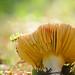 Gomba - Mushroom