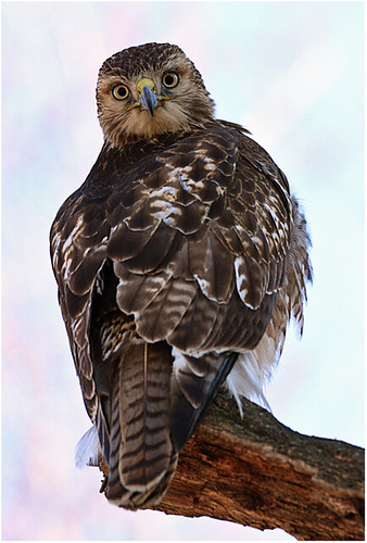 Redtail Hawk by John Janunas - Class A Digital -  HM- September 2017