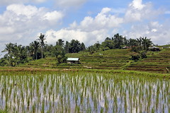 Clouds in the paddies, Jatiluwih Terraces - Bali (iqipen) Tags: jatiluwih terraces bali paddies indonesia rice unesco