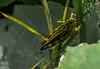 bon appetit! (BenedekhorvatH) Tags: grasshoppers macro verbier switzerland life mountains nikon d7100