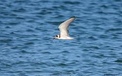 Black Tern (Chlidonias niger) in flight with food (Steve Arena) Tags: tern blte blacktern chlidoniasniger massachusetts barnstablecounty 2017 provincetown racepoint nikon d750 bird birds birding
