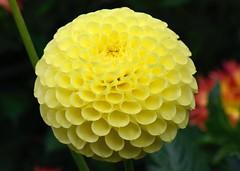 Rycroft Yellow Orb (Topiary Garden) Tags: yellowdahlias dahlias dahliaryecroftyelloworb topiarygarden