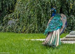 Looking Over Your Shoulder (SMPhotos2548) Tags: peacock bird nature newjersey groundsforsculpture nj d7200