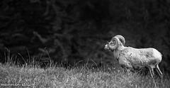 Spotlight On A Ram (maureen.elliott) Tags: wildlife bighornsheep ram animal blackandwhite alberta banffnationalpark rockies white photos blackandwhitephotos