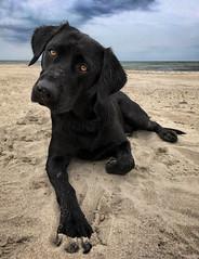 Hello (uwe.kast) Tags: labrador labradorretriever labradorredriver hund haustier dog denmark danmark dänemark vesterhusby nordsee northsee