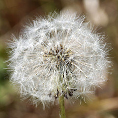 Clinging to Wishes 08192017 (Orange Barn) Tags: dandelion spores dry summer squarecrop 100xthe2017edition 100x2017 image58100