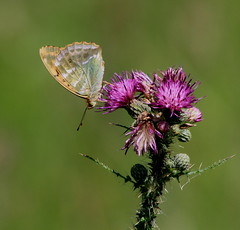 SILVER-WASHED FRITILARY (Bradders62) Tags: silverwashedfritillary canoneos7d alnersgorse dorset southwest britishbutterflies butterflies butterfly nature insects wildlife fritillary