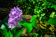 water hyacinth (avflinsch) Tags: ifttt 500px water floral plants garden pond botanic blossoms blossom botanical bloom hyacinth flowering blooming florescence hdr