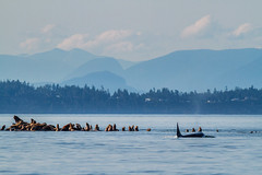 Orca hunting sea lions near Campbell River, BC. (Anne McKinnell) Tags: orcinusorca britishcolumbia campbellriver canada georgiastrait killerwhale ocean orca pacific sealion vancouverisland whale