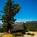 Gnarled lone tree