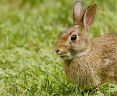 rabbit-wild-32w (egdc211) Tags: canon connecticutwildlife naturewatcher nature newenglandwildlife newenglandwildlifephotography outdoors wildlife rabbit explore
