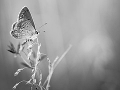 Papillon encore. (steph20_2) Tags: panasonic gh3 52bb tamron sp90 lumix m43 papillon butterfly insecte insect macro closeup proxy monochrome monochrom noir noiretblanc ngc blanc black bw white skanchelli