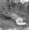 Une bonne raison (Paysage du temps) Tags: 2017 20170109 chizelles film france hp5 ilford rolleiflex saoneetloire zeissplanar80mm tronconneuse bucheron arbre tree jardin garden permaculture