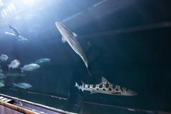 IMG_7404 (Malu Green!) Tags: sanfrancisco california califórnia eua usa aquarium aquário aquariumofthebay sanfranciscoaquarium fish color colores cores peixe aguaviva estreladomar seastar tubarão shark jellyfish jellies