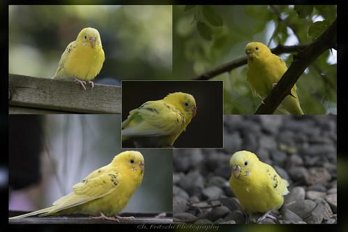 Perruche / Parakeet aka Budgie...?