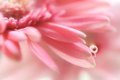 ONE (Tomo M) Tags: petal gerbera 1 waterdroplet drop reflection water bokeh macro tamron