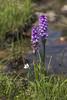 Orquídeas (kike.matas) Tags: canon canoneos6d sigma sigma105mf28exdgoshsm kikematas orquídea estanysdelasolana flores nature encamp andorra andorre principatdandorra pirineos pessons cercledepessons lago agua lightroom4 андорра