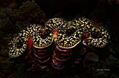 Giant clam (kyshokada) Tags: giantclam clam underwater scuba diving pacific fiji astrolabereef animalplanet reef tropical sea sony a7