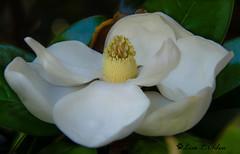 Magnolia - Explored (Silva's Aragorn1229) Tags: magnolia bloom tree nature atlanta georgia white fragrant nikond5200 flower beauty beautiful flora floral treebloom garden southern fragrance plant explored