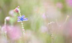 Heideblauwtje - Silver-studded blue (Wim Boon (wimzilver)) Tags: canoneos5dmarkiii canon100mmf28lismacro heideblauwtje vlinder butterfly holland nederland netherlands macro macrofotografie natuur nature leersum dopheide heide