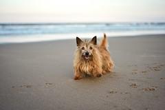 (Dogloverlou) Tags: missy terrier senior sand sea sunset walk lincolnshire 2017