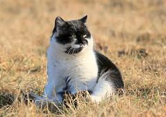 Solid Cat (Ramunė Vakarė) Tags: solidcat cat winter meadow february sun lithuania eičiai ramunėvakarė