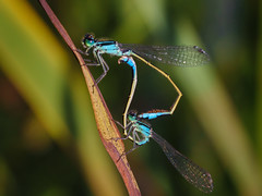 Dragon Love (Jannik Peters) Tags: dragonfly coupling egg eggs macro bokeh makro makroplanar 100 28 contax sony fe a7ii legacy adaped beautiful natureasthetic