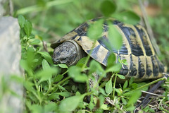 Bon appetit ! (@Katerina Log) Tags: eat foliage florafauna food greece griechenland green ground grass reptile tortoise turtle katerinalog sonyilce6000 outdoor nature natura bokeh depthoffield closeup macro 105mmf28