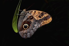 Owl Butterfly (Nige H (Thanks for 10m views)) Tags: nature insect butterfly owlbutterfly onblack