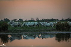 Dawn In The Camargue With The White Horses (pbmultimedia5) Tags: regional nature park camargue horses morning daybreak dawn wild wildlife animal wetland rhone river france pbmultimedia