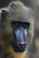 @ Artis 30-10-2016 (Maxime de Boer) Tags: mandril mandrill aap monkey natura artis magistra zoo amsterdam animals dieren dierentuin gods creation schepping