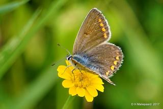 Vlinder Bruin Blauwtje