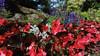 Red Begonia and Blue Delphinium, Government House, Victoria, BC, Canada (dannymfoster) Tags: canada britishcolumbia bc flower begonia delphinium