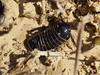 Pill Millipede - Glomeris marginata (Fred's Uncle) Tags: millipede littlegalleyhill myriapod