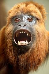 DSC09108 - Guyanan Red Howler Monkey (archer10 (Dennis) 107M Views) Tags: ontario sony a6300 ilce6300 18200mm 1650mm mirrorless free freepicture archer10 dennis jarvis dennisgjarvis dennisjarvis iamcanadian novascotia canada toronto guyanan red howler monkey rom royalontariomuseum museum